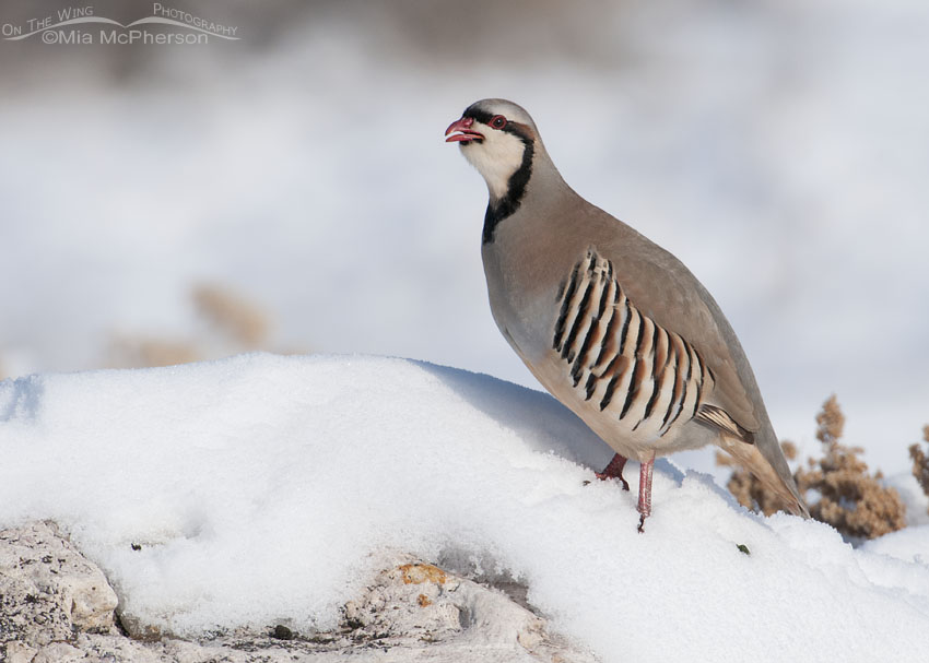 Chukar calling on snow-covered Antelope Island