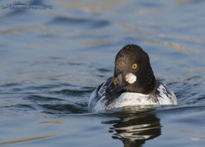 1st winter Common Goldeneye swimming towards me