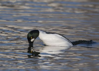 Common Goldeneye male diving