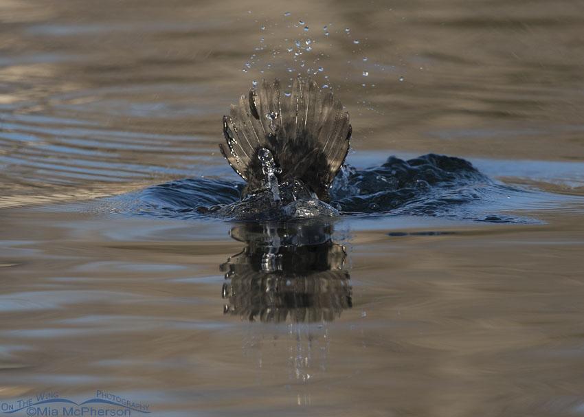 Duck Tail - Common Goldeneye