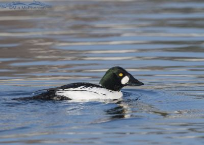 Drake Common Goldeneye after surfacing