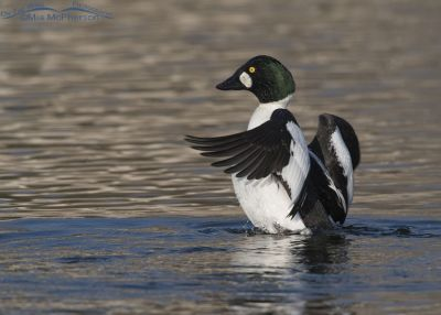 Wing-flapping drake Common Goldeneye