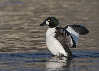 Common Goldeneye male shaking it up