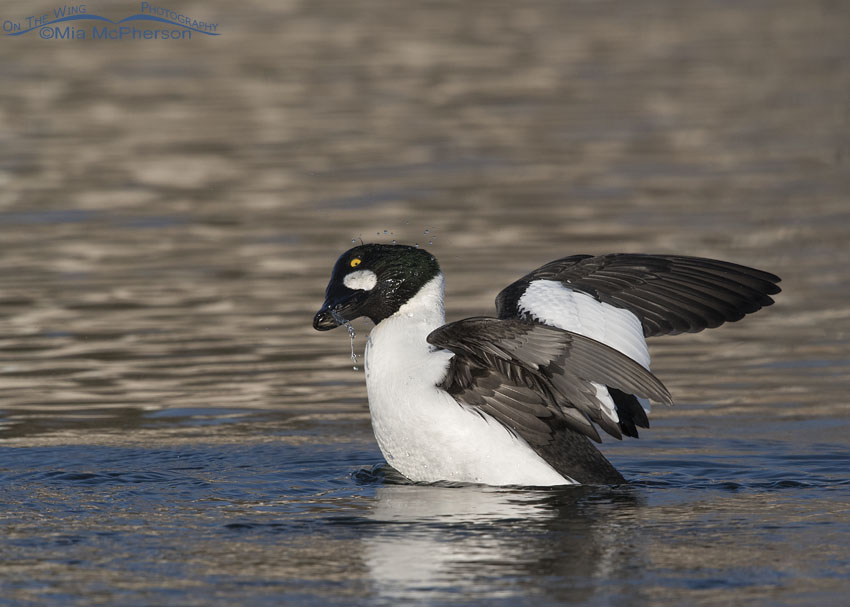 Drake Common Goldeneye shaking water off his head