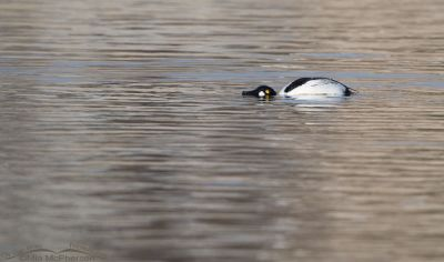 Common Goldeneye Threat Display