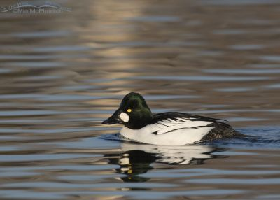 Male Common Goldeneye in a spot of light