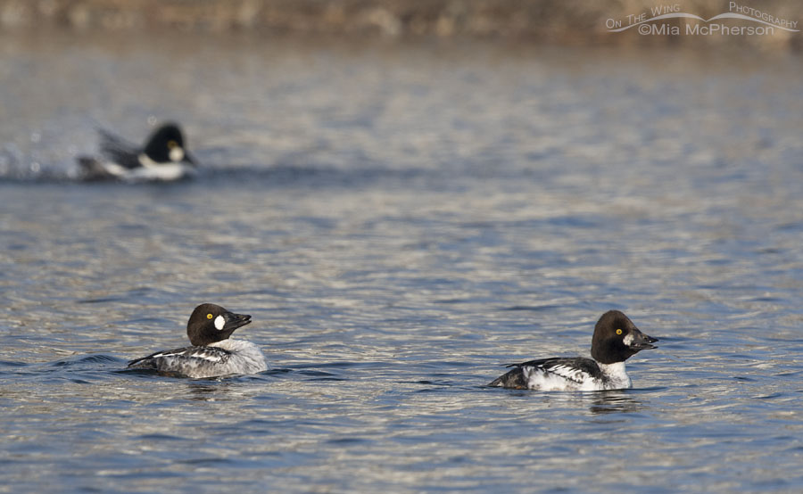 First winter male Common Goldeneyes displaying