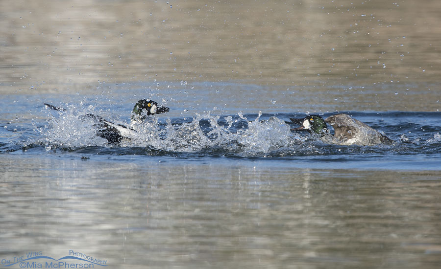 Fighting male Common Goldeneyes