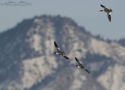 Common Mergansers in flight in front of Mount Olympus