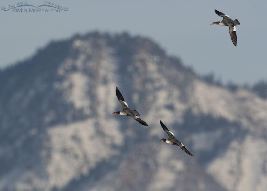 Common Mergansers in flight in front of Mount Olympus