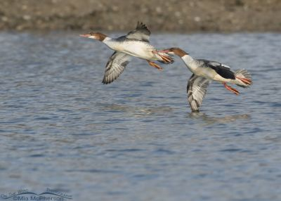Common Mergansers coming in for a landing