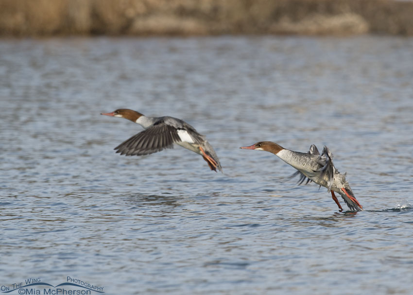 Two Common Mergansers about to land on a pond