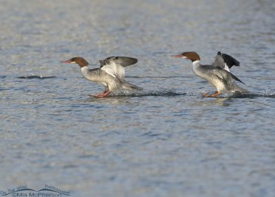 Common Mergansers sliding in for a landing