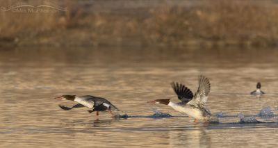 Common Mergansers running to lift off