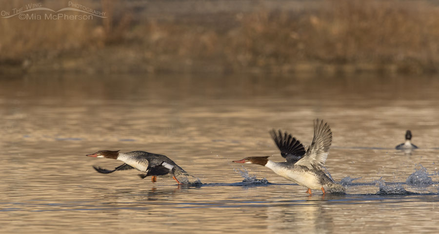 Common Mergansers running to lift off