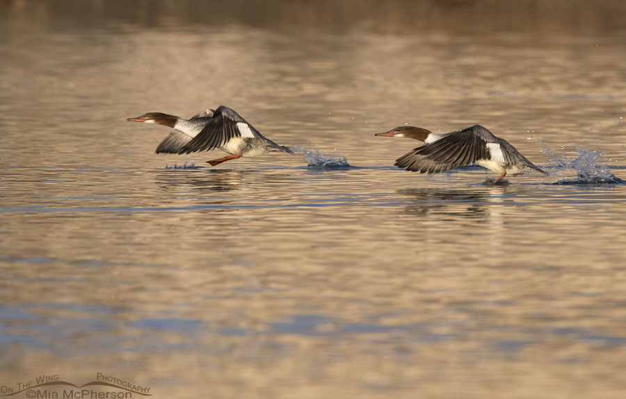 Common Mergansers lifting off from a pond