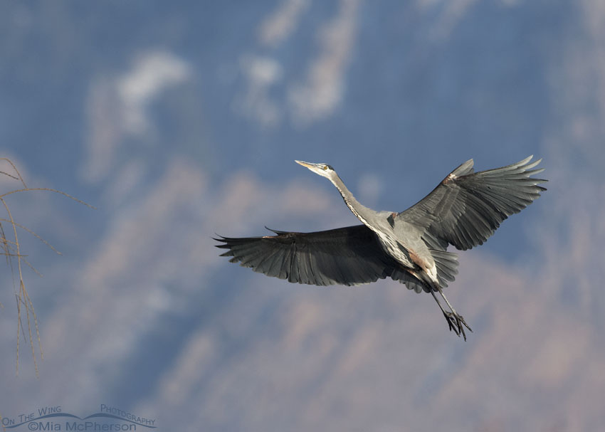 Great Blue Heron flying in front of Mount Olympus