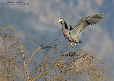 Great Blue Heron landing on a Willow