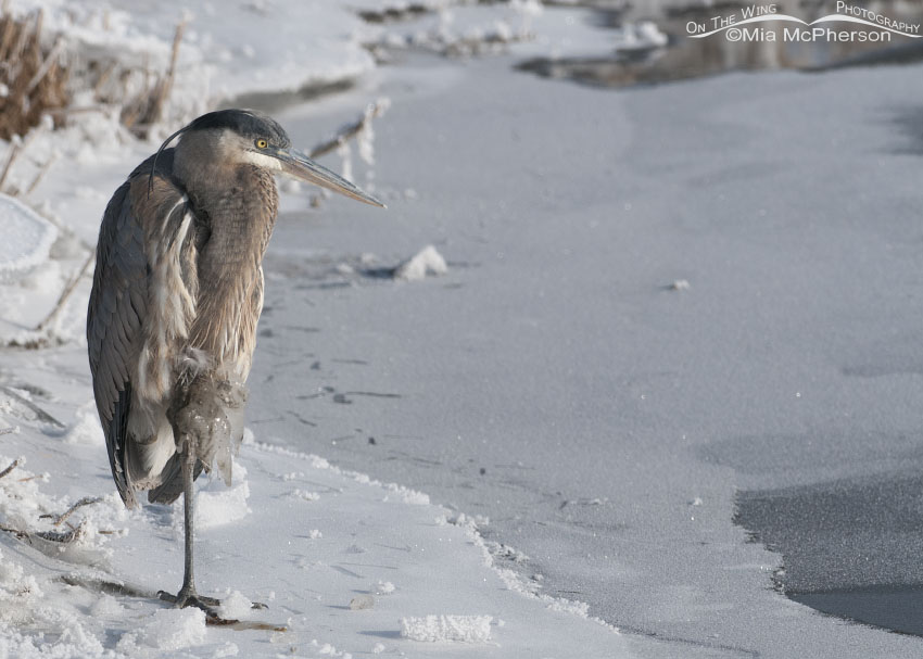 One very cold Great Blue Heron