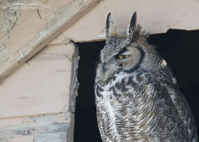 Great Horned Owl close up in northern Utah