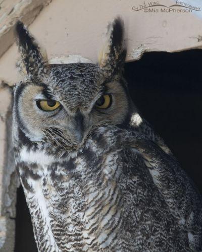 Great Horned Owl portrait in northern Utah