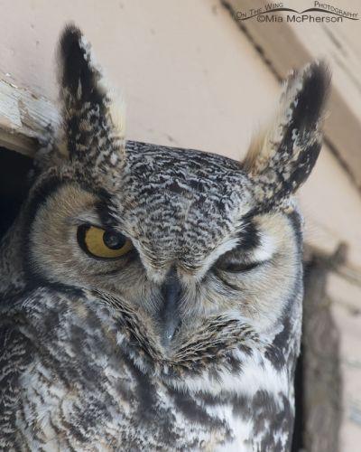 Blinking Great Horned Owl