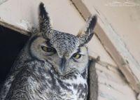 Sleepy Great Horned Owl