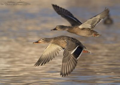 Hen Mallards in flight in afternoon light
