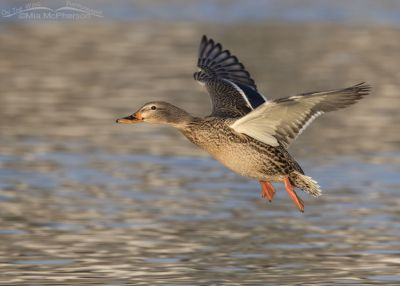 Mallard Hen flying over a pond in golden afternoon light
