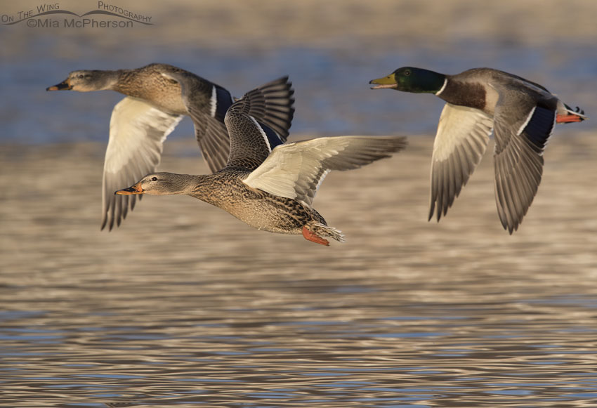 Three Mallards in flight