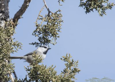 Mountain Chickadee perched in Juniper
