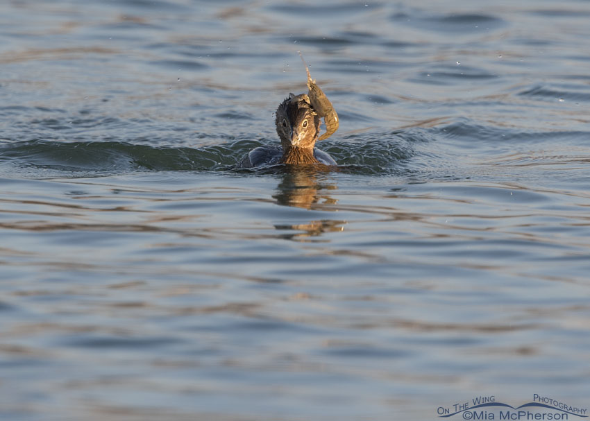 Crayfish on a Pied-billed Grebe's head