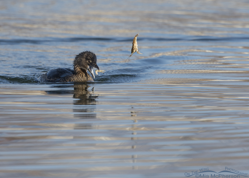 Pied-billed Grebe and flying Crayfish