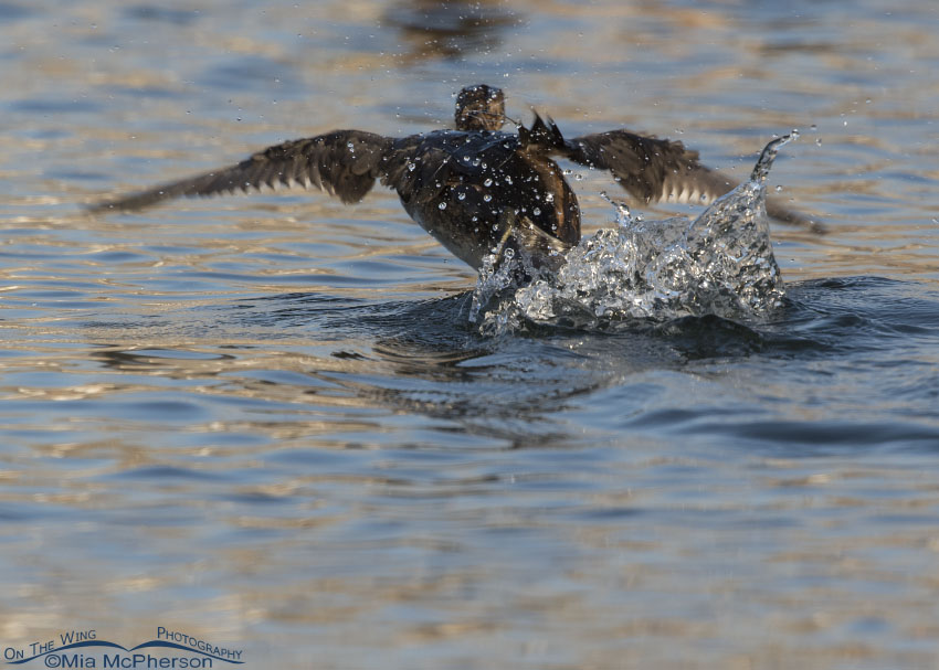 Pied-billed Grebe fleeing an aggressive grebe