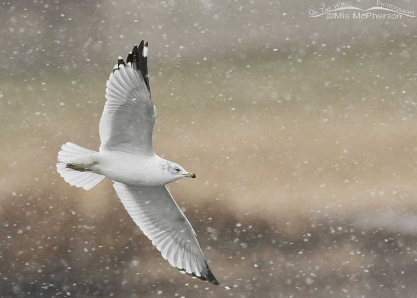 Adult Ring-billed Gull flying in a snow storm