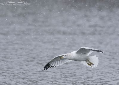 Ring-billed Gull in flight in a snow storm