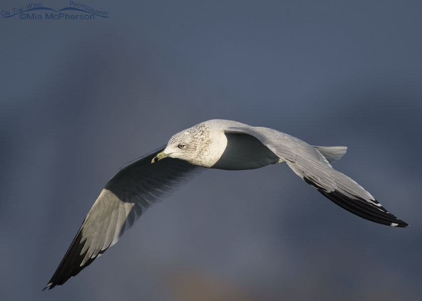 Ring-billed Gull in flight in front of a stormy sky