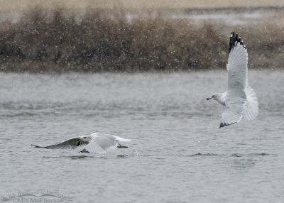 Ring-billed Gull skirmish in a snow storm