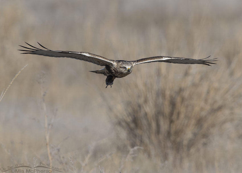 Immature Rough-legged Hawk in flight with prey