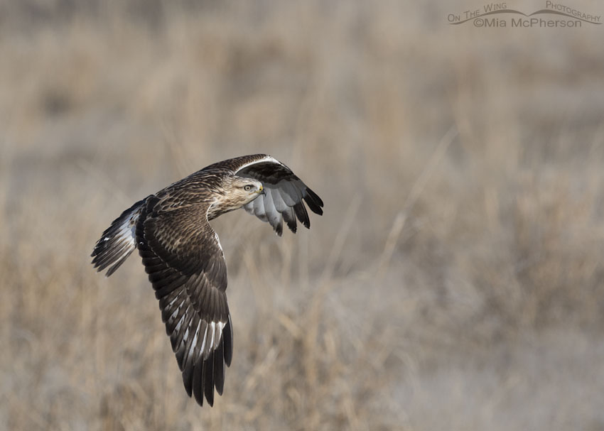 Immature light morph Rough-legged Hawk flying towards a nest box