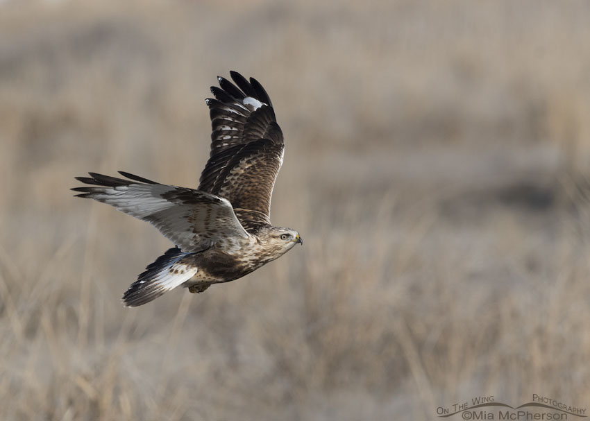 Immature Rough-legged Hawk with its eye on its landing spot