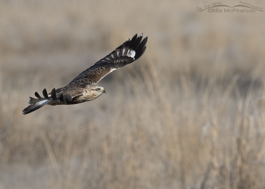 Light morph immature Rough-legged Hawk in flight heading towards its perch