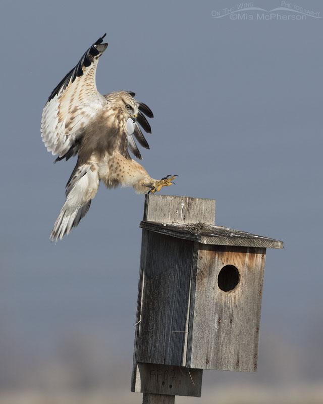 Immature Rough-legged Hawk's pin point landing on nest box