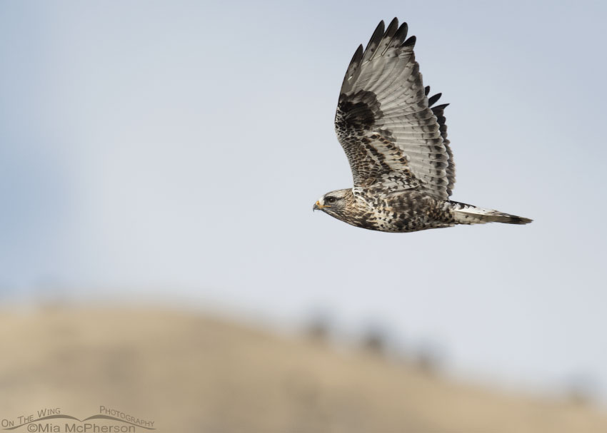 Male Rough-legged Hawk in flight in front of a cloud