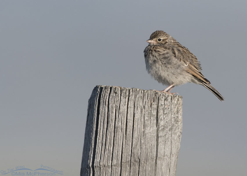 Perched juvenile Vesper Sparrow
