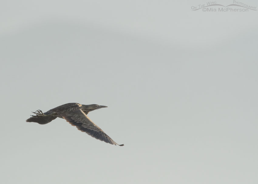 Documentary photo of American Bittern in flight
