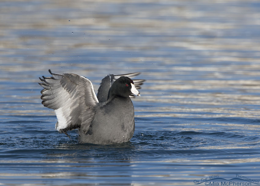 American Coot fluffing its wings after bathing