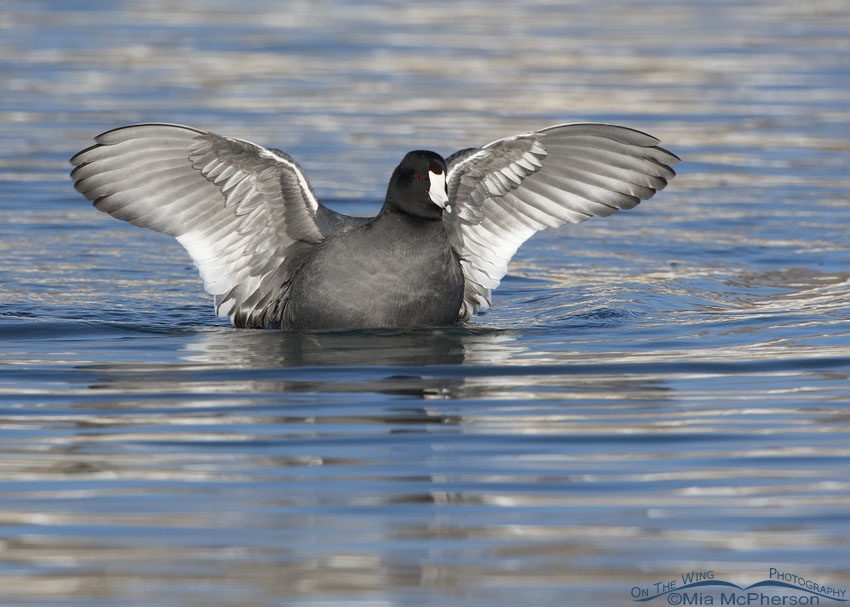 American Coot with its wings spread after bathing