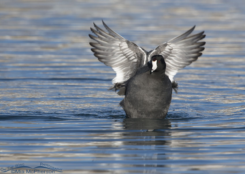 American Coot post bath