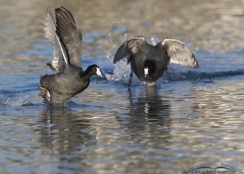 Two American Coots involved in a chase